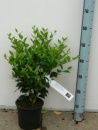 ligustrum japonicum  texanum c2  aug..jpg
